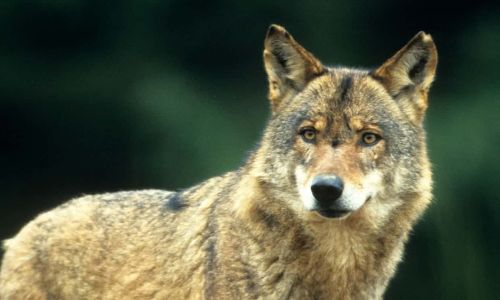 One wolf's migration across Europe