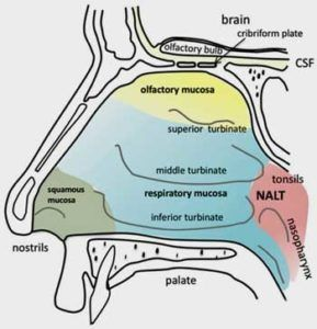 Are Intranasal Drugs the Future for ME/CFS and Fibromyalgia?