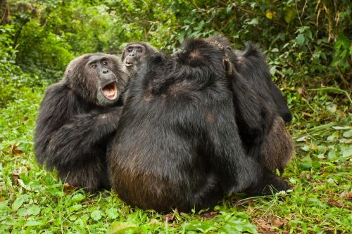Humans aren't the only species who get choosier about their friends as they age. Chimps do it too, new research suggests