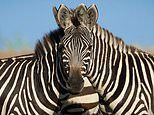 Incredible optical illusion leaves people divided over which zebra is looking at the camera