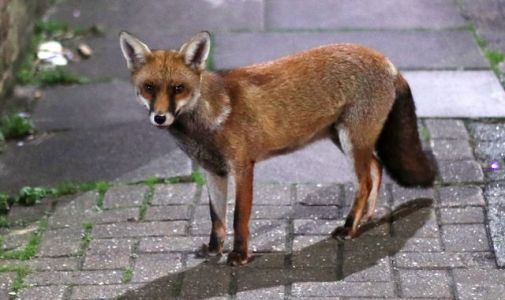 Urban fox evolution 'suggests how dogs became domesticated'