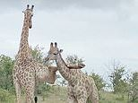 It's about to kick off! Giraffe gets its leg caught on a smaller rival's neck as they square up