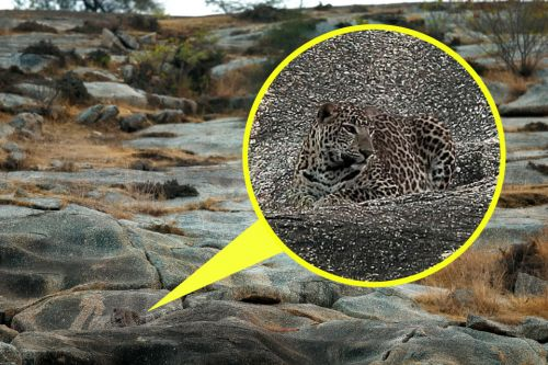 Leopard does its best to blend into its surroundings in amazing pic