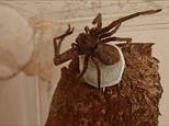 Skin-crawling footage shows a female huntsman spider carefully weaving her egg sac