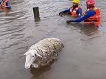 Sheep lost in Gosford, New South Wales rescued from floodwaters by State Emergency Services