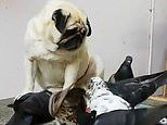 Adorable pug looks depressed as he sits and watches pigeons steal food from right under his snout