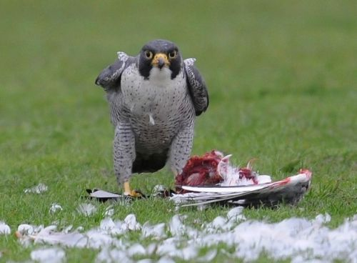 Falcons see prey at speed of Formula 1 car