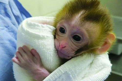Monkey born from frozen testicular tissue offer hope to young cancer patients