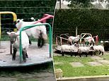 Flock of lambs flout the two-metre rule as they hop and skip on a roundabout