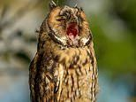 Dozy long-eared owl chick lets out a huge yawn as it perches on tree branch at sunrise