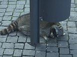 Drunk raccoon staggers through German Christmas market and passes out after drinking mulled wine