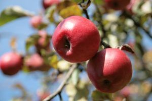 Can an apple extract a day keep the doctor away?