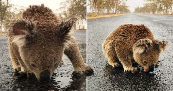 Thirsty koala risks life to lick rainwater off road in fire-ravaged Australia
