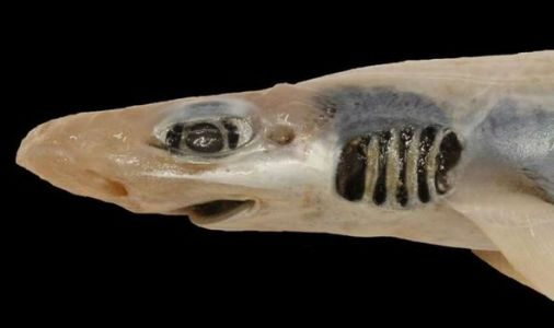 Shark horror: Skinless beast from the deep discovered