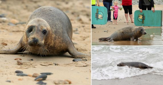 Rescue centre release adorable one-eyed seal back into the sea