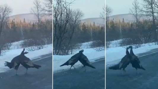 Wild turkeys locked in vicious brawl in the middle of the road