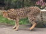 'Big cat' on loose in North London after escaping from mansion on 'Billionaires' Row'