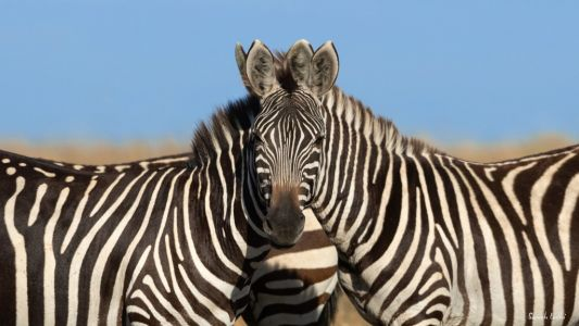 Photo of zebras leaves people baffled as they can't tell which one is facing the camera