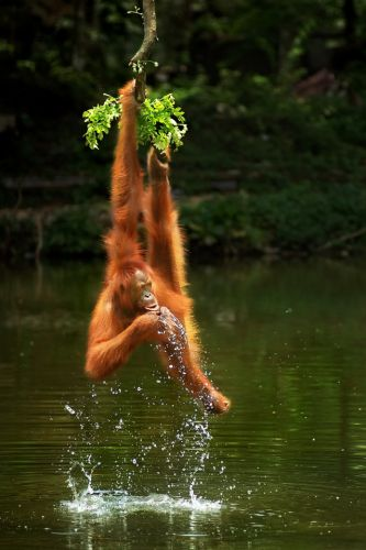 Incredible pic of an orangutan hanging from a vine wins top nature photography contest