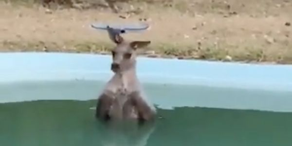 A desperate kangaroo snuck into a family's pool in order to escape the bushfires raging through Australia