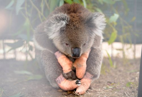Koala nurses wounds on island devastated by bushfires