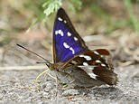 Why the king of butterflies is set for a comeback: Purple Emperor set for record numbers this summer