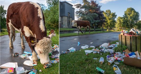Cows graze through rubbish left behind after Super Saturday