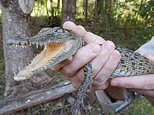 Saltwater crocodile found 'severely dehydrated' in Brisbane creek, 1500 kms away from its usual home
