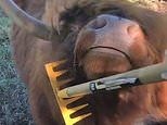 Highland bull enjoys getting a scratch with an over-sized comb