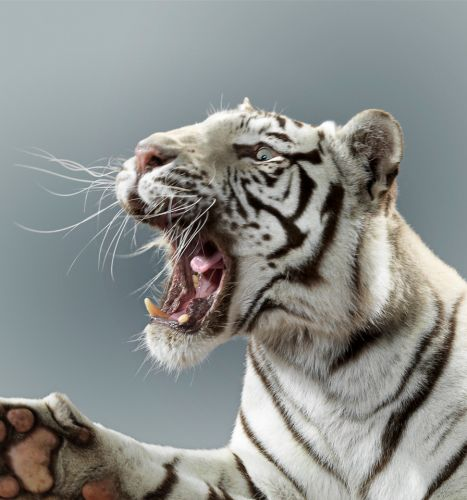 Stunning pics of snarling lions and tigers prowling around big cat sanctuary in Kent