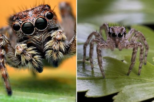 Terrifying jumping spiders that can leap 6ft into air found in UK for first time