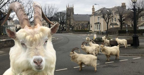 Mountain goats take over Welsh town in coronavirus lockdown
