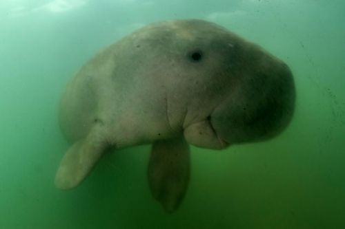 Marium The Insanely Cute Baby Dugong Dies After Eating Plastic Waste