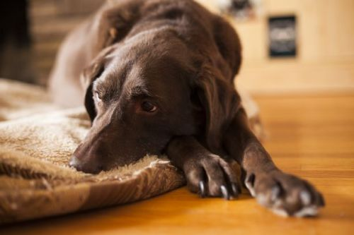 Chocolate Labradors have significantly SHORTER lifespans than their black or yellow counterparts