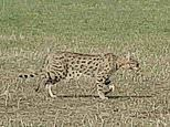 Large wildcat spotted casually strolling through Cambridgeshire nature reserve