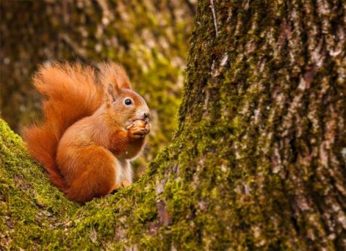 Pine martens help to restore red squirrel population