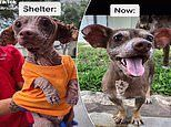 Dobby the stray 'Chiweenie' is unrecognizable