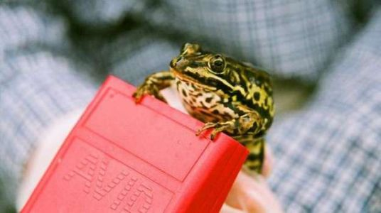 Saving the endangered pool frog in the UK