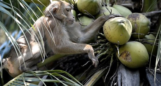 UK supermarkets end the sale of monkey-picked coconuts and coconut milk