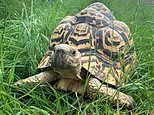 Sybil the tortoise can't get enough of riding down a slide on her belly - VERY SLOWLY