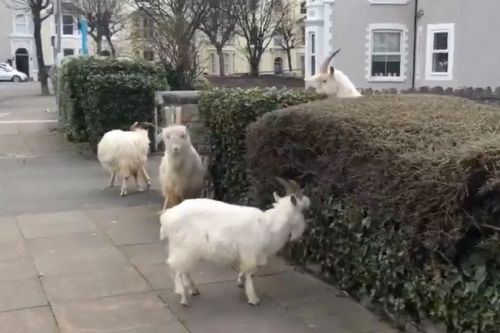 Naughty goats take over deserted town during coronavirus lockdown
