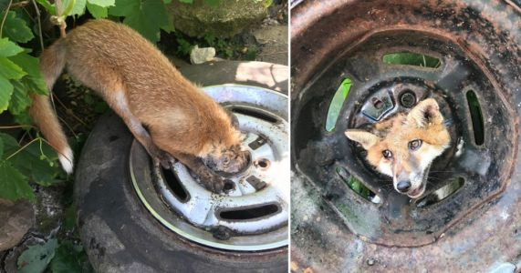 Fox rescued after getting its head stuck in a car wheel