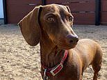 Pip the dachshund finally returns to Sydney after being stranded in US for 136 days