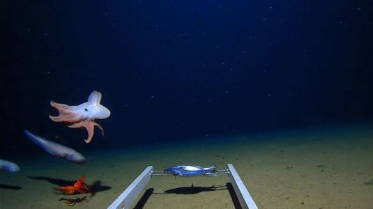 Scientists Captured New Footage of the Deepest-Living Octopus