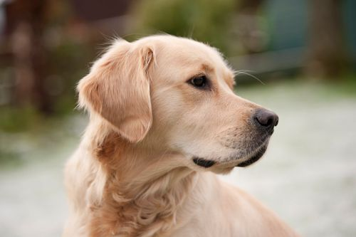 Dogs are instinctively wired to protect owners, research shows