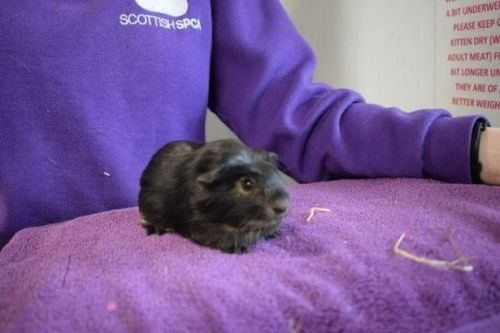 Trio of Ayrshire guinea pigs looking for forever home together