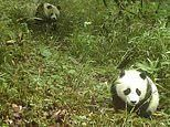 Giant panda: Rare footage shows a wild cub roaming the bamboo forest with its mother in China