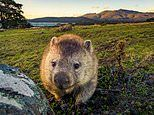 One of nature's greatest mysteries is finally explained: Why is wombat poo SQUARE?