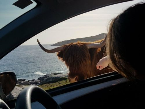Highland cow refuses to moo-ve out of the way