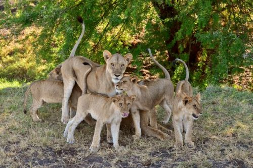 Lions thriving in nature reserve which inspired classic wildlife film Born Free